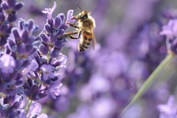 ミツバチと農業